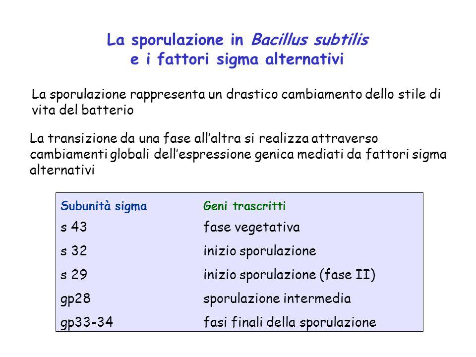 La sporulazione in Bacillus subtilis e i fattori sigma alternativi La sporulazione rappresenta un drastico cambiamento dello stile di vita del batteri