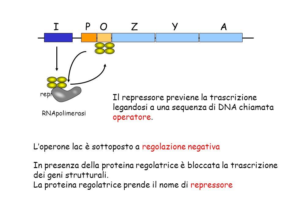 ZYAOPI Il repressore previene la trascrizione legandosi a una sequenza di DNA chiamata operatore. repressore RNApolimerasi Loperone lac è sottoposto a