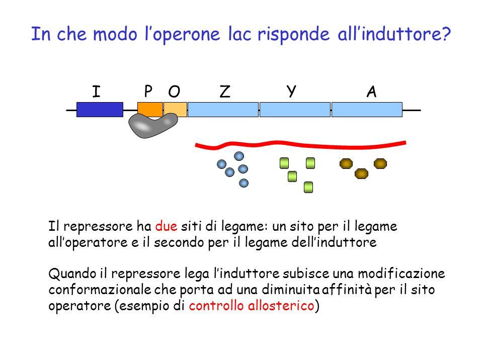 In che modo loperone lac risponde allinduttore? ZYAOPI induttore Il repressore ha due siti di legame: un sito per il legame alloperatore e il secondo