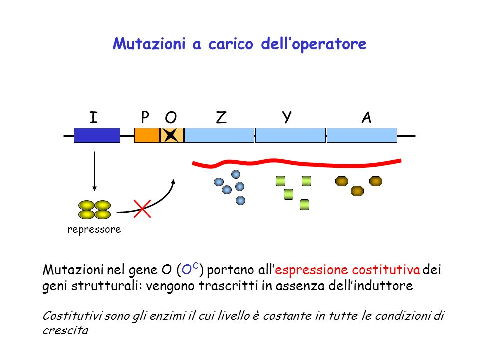 ZYAOPI repressore Mutazioni a carico delloperatore Mutazioni nel gene O (O c ) portano allespressione costitutiva dei geni strutturali: vengono trascr
