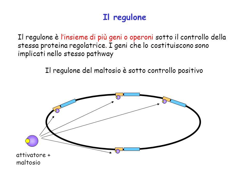 Il regulone Il regulone è linsieme di più geni o operoni sotto il controllo della stessa proteina regolatrice. I geni che lo costituiscono sono implic