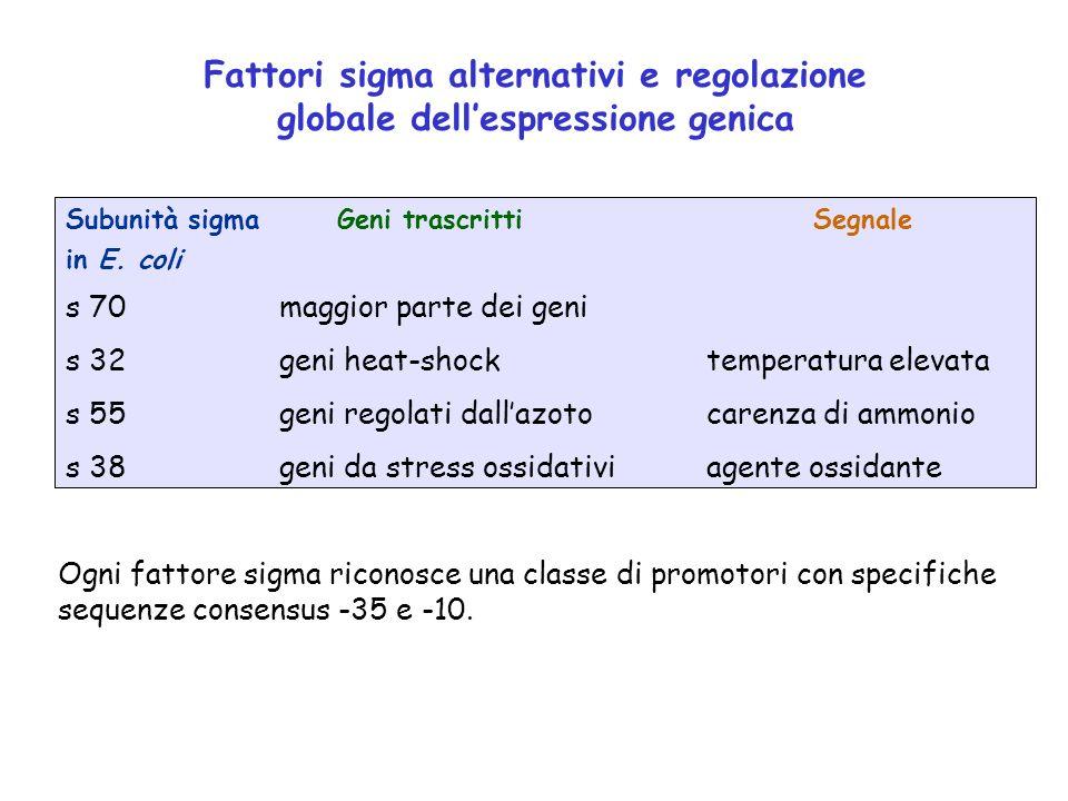 Fattori sigma alternativi e regolazione globale dellespressione genica Subunità sigma Geni trascrittiSegnale in E. coli s 70maggior parte dei geni s 3
