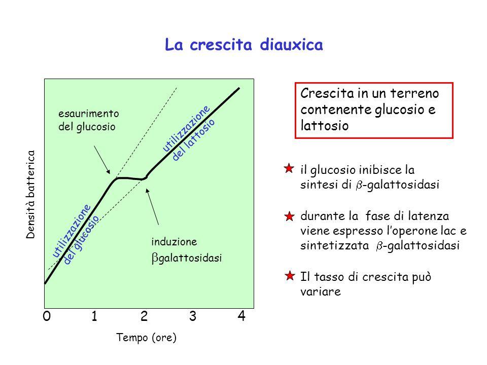 La crescita diauxica 0123401234 Tempo (ore) esaurimento del glucosio induzione galattosidasi utilizzazione del glucosio utilizzazione del lattosio Den
