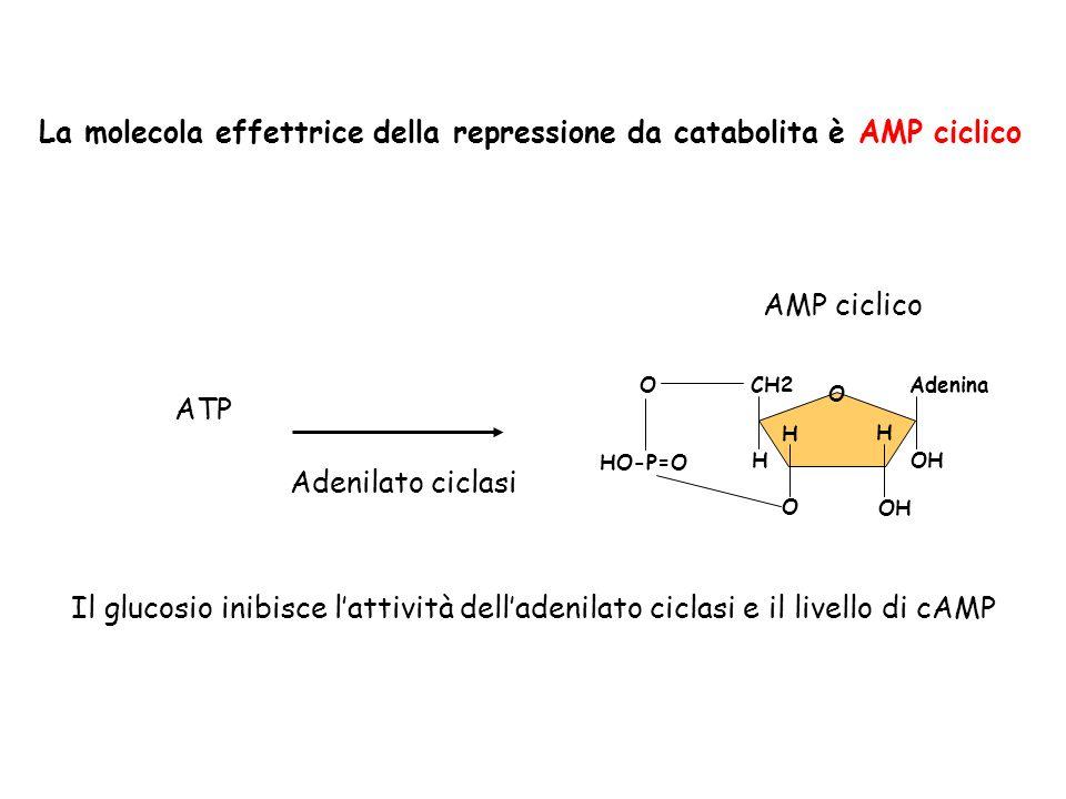 H OH O Adenina OH H O CH2 H O HO-P=O ATP Adenilato ciclasi AMP ciclico Il glucosio inibisce lattività delladenilato ciclasi e il livello di cAMP La mo