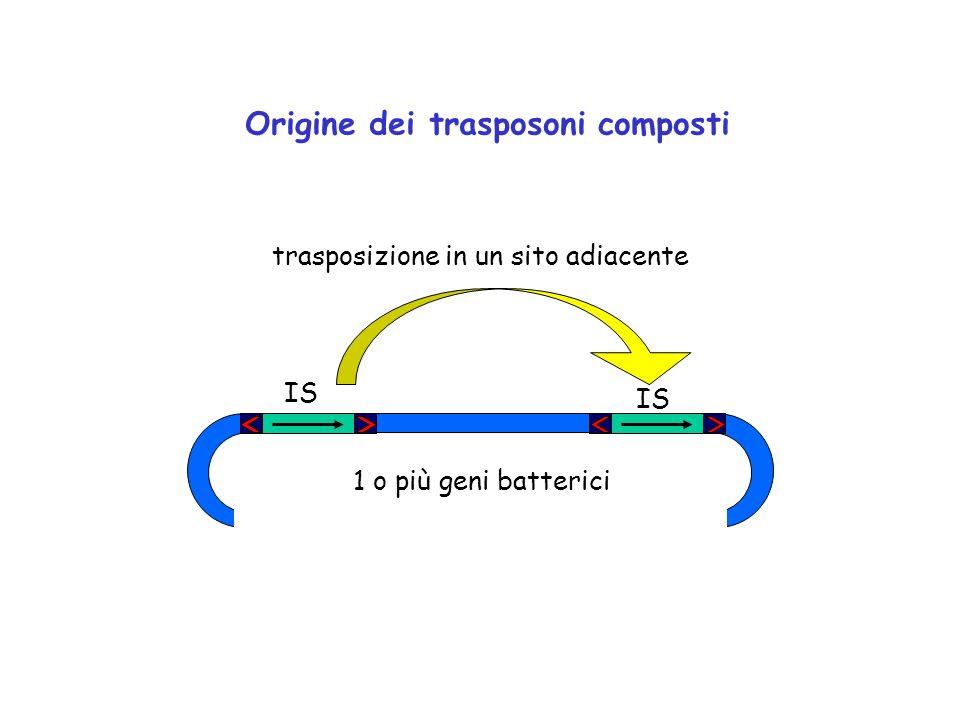 IS trasposizione in un sito adiacente Origine dei trasposoni composti IS 1 o più geni batterici
