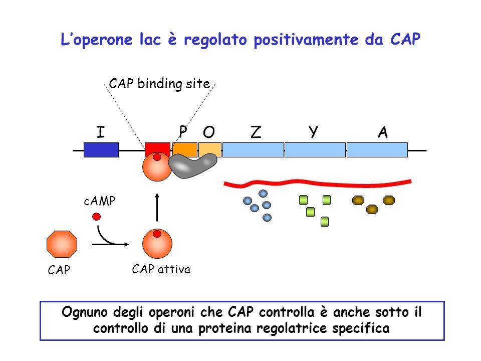 ZYAOPI CAP binding site cAMP CAP CAP attiva Ognuno degli operoni che CAP controlla è anche sotto il controllo di una proteina regolatrice specifica Lo