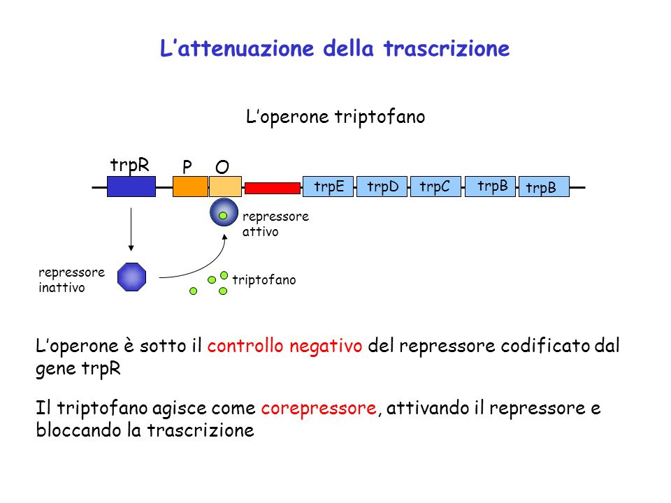 Lattenuazione della trascrizione OP trpR trpDtrpEtrpC trpB Loperone triptofano Loperone è sotto il controllo negativo del repressore codificato dal ge