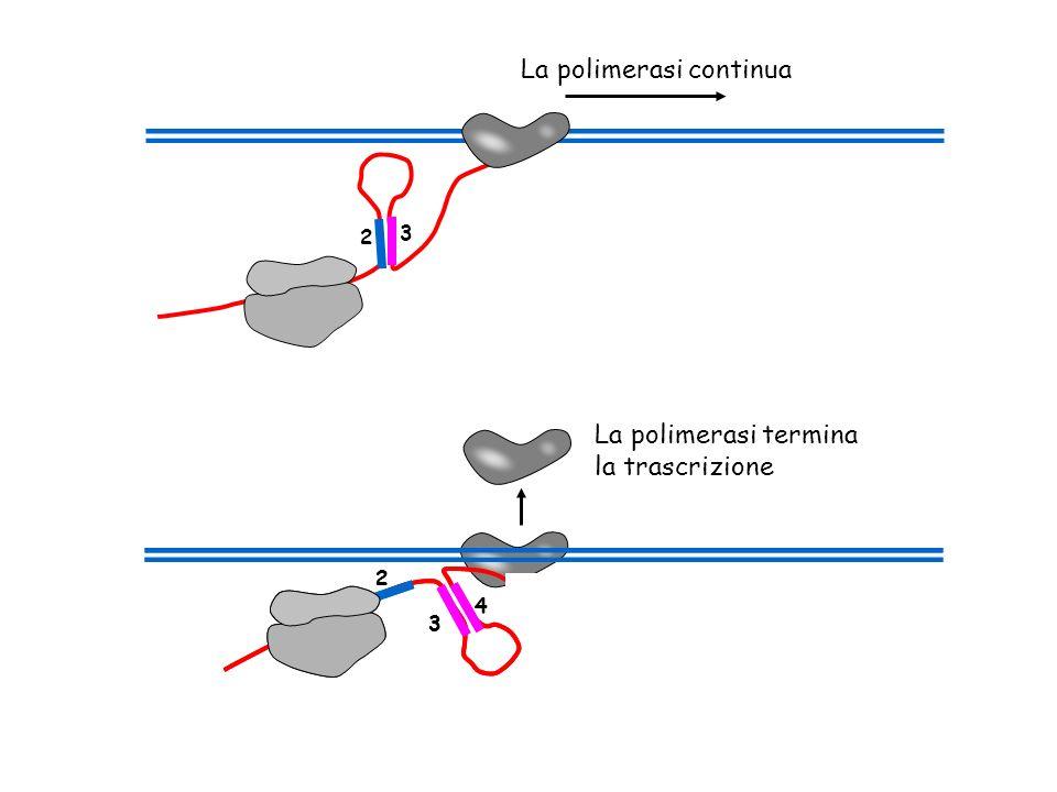 2 3 La polimerasi continua 2 3 4 La polimerasi termina la trascrizione 2 3 4