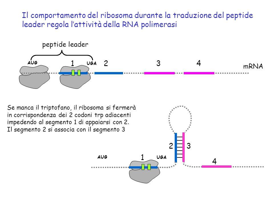 Il comportamento del ribosoma durante la traduzione del peptide leader regola lattività della RNA polimerasi 1234 mRNA peptide leader AUG UGA Se manca