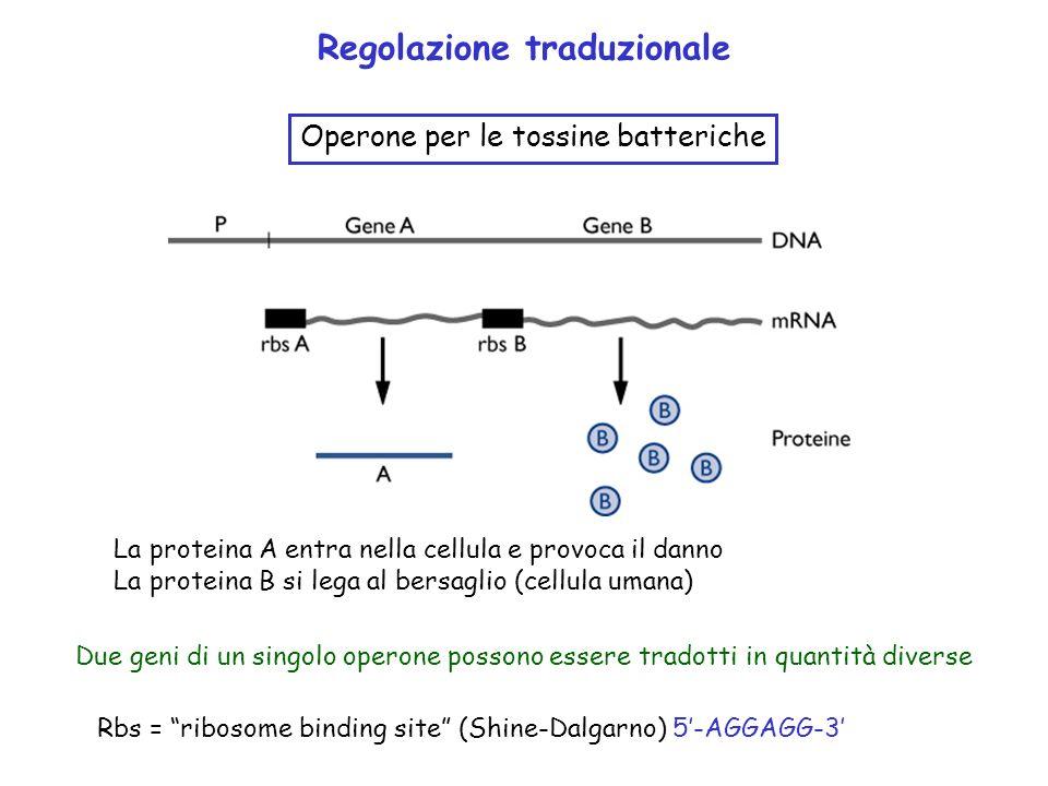Rbs = ribosome binding site (Shine-Dalgarno) 5-AGGAGG-3 Regolazione traduzionale Operone per le tossine batteriche Due geni di un singolo operone poss