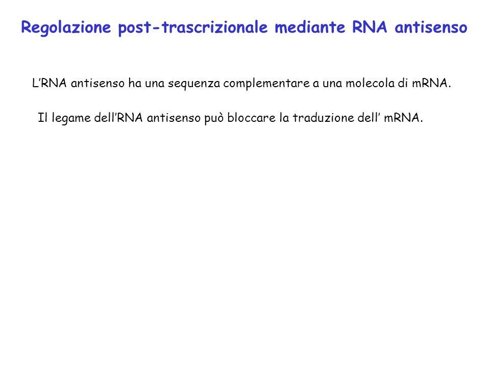 Regolazione post-trascrizionale mediante RNA antisenso LRNA antisenso ha una sequenza complementare a una molecola di mRNA. Il legame dellRNA antisens