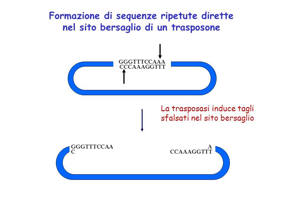 GGGTTTCCAAA CCCAAAGGTTT GGGTTTCCAA A C CCAAAGGTTT Formazione di sequenze ripetute dirette nel sito bersaglio di un trasposone La trasposasi induce tag