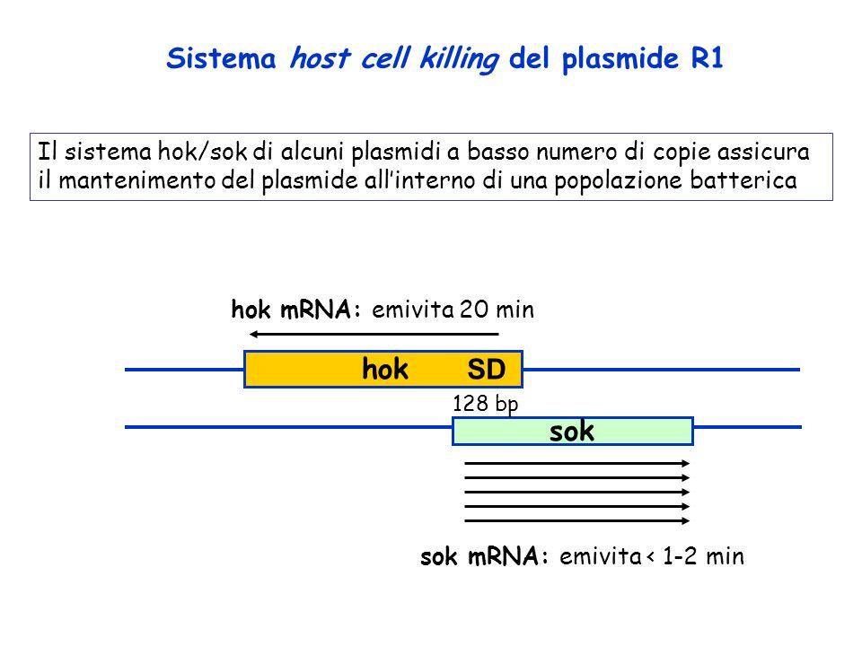 sok Sistema host cell killing del plasmide R1 hok mRNA: emivita 20 min sok mRNA: emivita < 1-2 min 128 bp SD hok Il sistema hok/sok di alcuni plasmidi