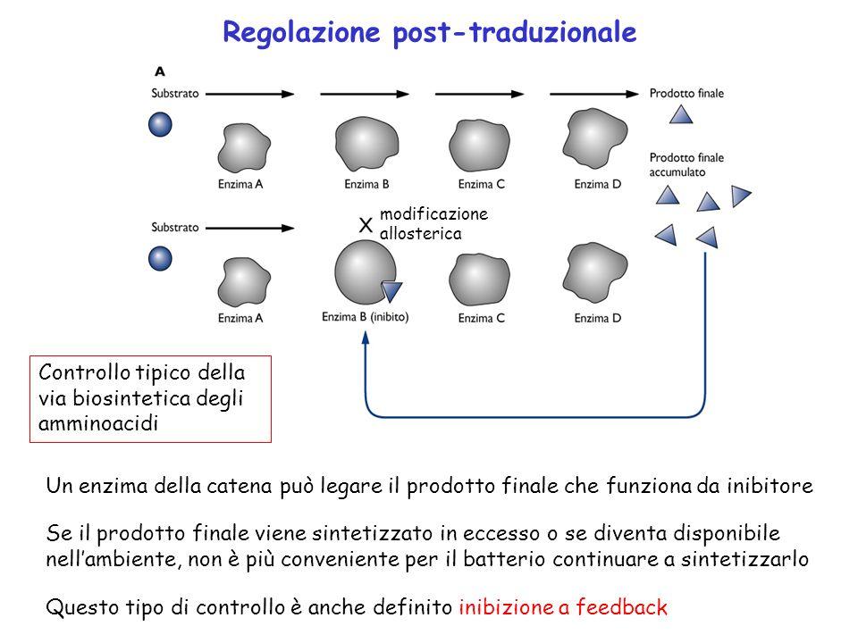 Regolazione post-traduzionale Un enzima della catena può legare il prodotto finale che funziona da inibitore Se il prodotto finale viene sintetizzato