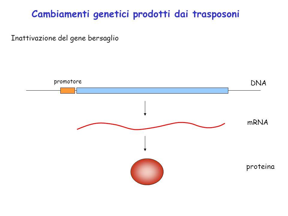 Cambiamenti genetici prodotti dai trasposoni Inattivazione del gene bersaglio promotore DNA mRNA proteina