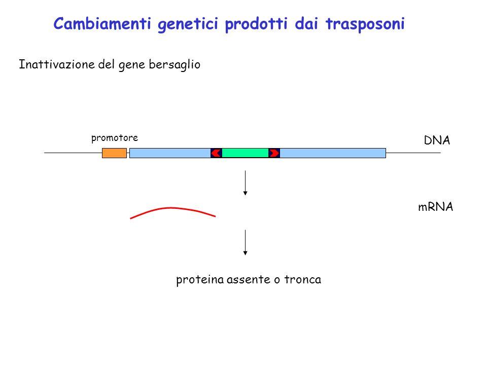 Cambiamenti genetici prodotti dai trasposoni Inattivazione del gene bersaglio promotore DNA mRNA proteina assente o tronca