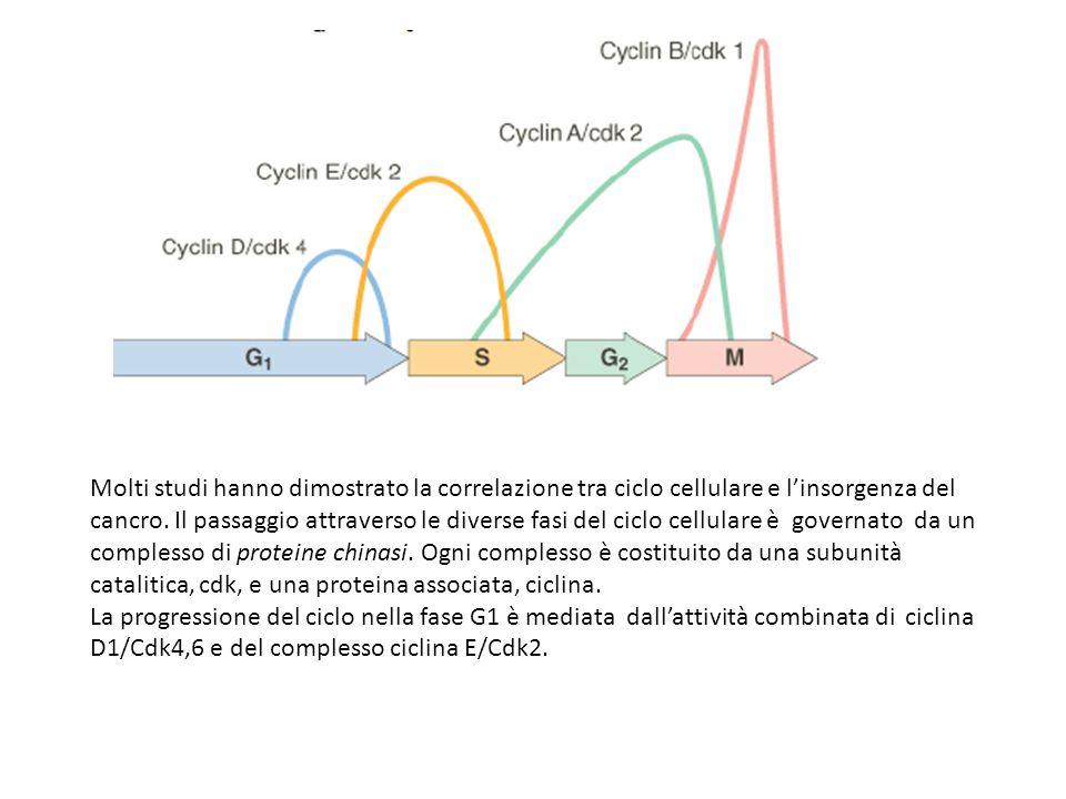 Molti studi hanno dimostrato la correlazione tra ciclo cellulare e linsorgenza del cancro. Il passaggio attraverso le diverse fasi del ciclo cellulare