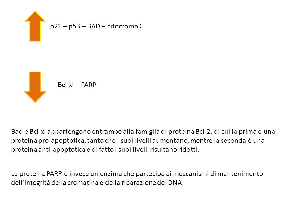 p21 – p53 – BAD – citocromo C Bcl-xl – PARP Bad e Bcl-xl appartengono entrambe alla famiglia di proteina Bcl-2, di cui la prima è una proteina pro-apo