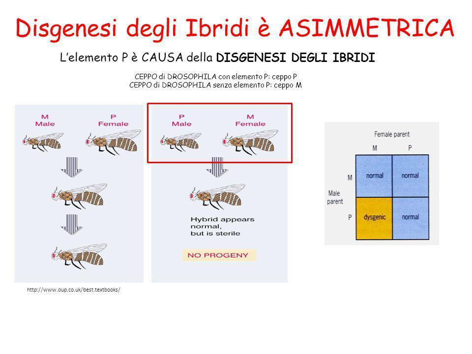 Disgenesi degli Ibridi è ASIMMETRICA Lelemento P è CAUSA della DISGENESI DEGLI IBRIDI http://www.oup.co.uk/best.textbooks/ CEPPO di DROSOPHILA con ele
