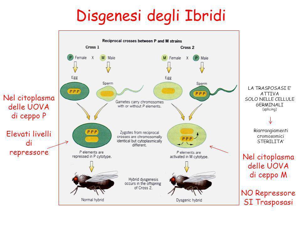 Disgenesi degli Ibridi Nel citoplasma delle UOVA di ceppo P Elevati livelli di repressore LA TRASPOSASI E ATTIVA SOLO NELLE CELLULE GERMINALI (splicin