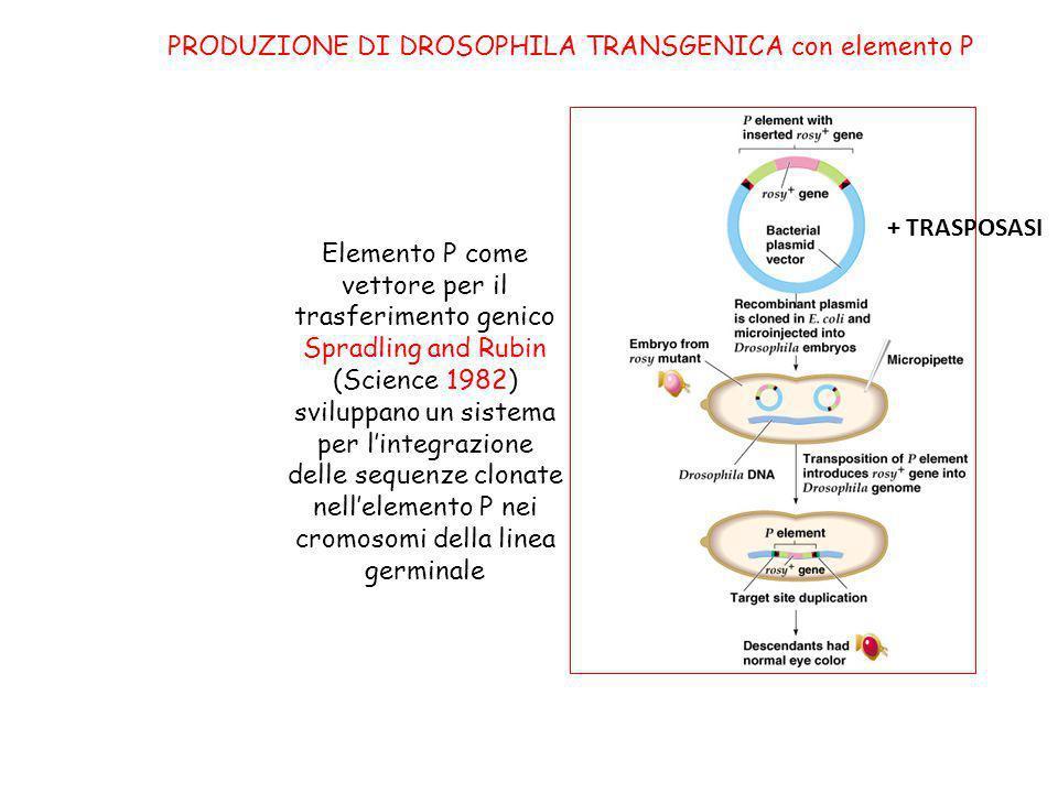 Elemento P come vettore per il trasferimento genico Spradling and Rubin (Science 1982) sviluppano un sistema per lintegrazione delle sequenze clonate