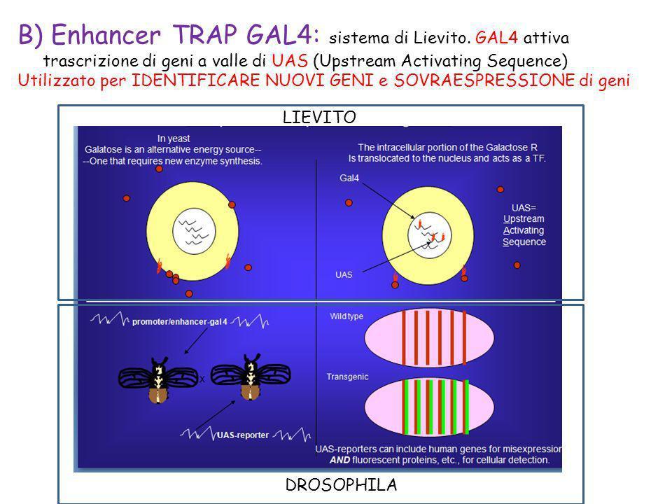 B) Enhancer TRAP GAL4: sistema di Lievito. GAL4 attiva trascrizione di geni a valle di UAS (Upstream Activating Sequence) Utilizzato per IDENTIFICARE