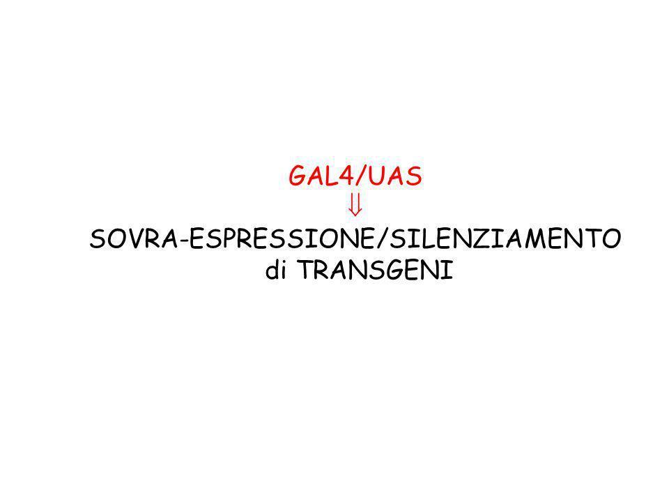 GAL4/UAS SOVRA-ESPRESSIONE/SILENZIAMENTO di TRANSGENI