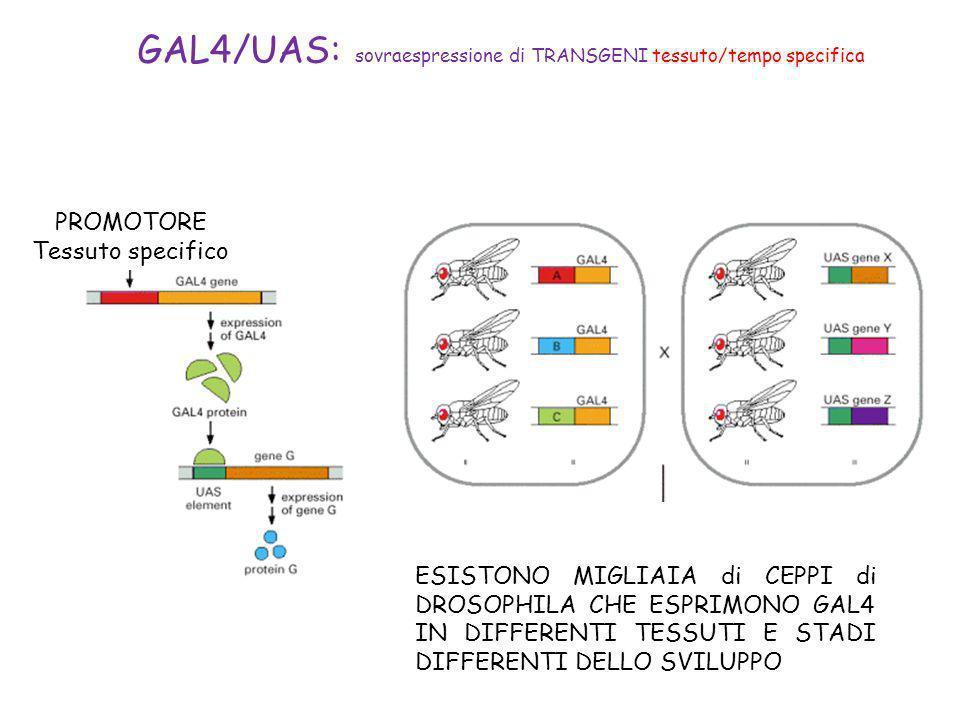 PROMOTORE Tessuto specifico GAL4/UAS: sovraespressione di TRANSGENI tessuto/tempo specifica ESISTONO MIGLIAIA di CEPPI di DROSOPHILA CHE ESPRIMONO GAL