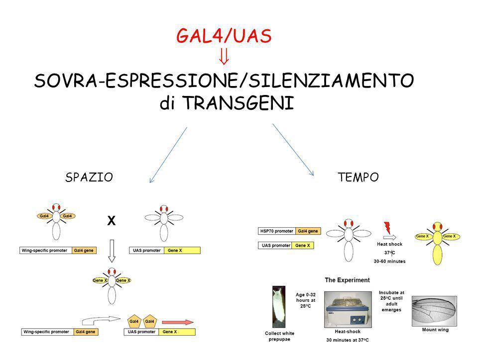 GAL4/UAS SOVRA-ESPRESSIONE/SILENZIAMENTO di TRANSGENI SPAZIOTEMPO