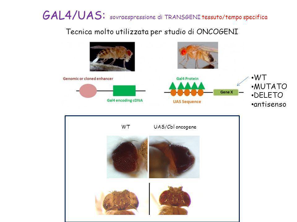 Tecnica molto utilizzata per studio di ONCOGENI WT MUTATO DELETO antisenso UAS/Cbl oncogeneWT GAL4/UAS: sovraespressione di TRANSGENI tessuto/tempo sp