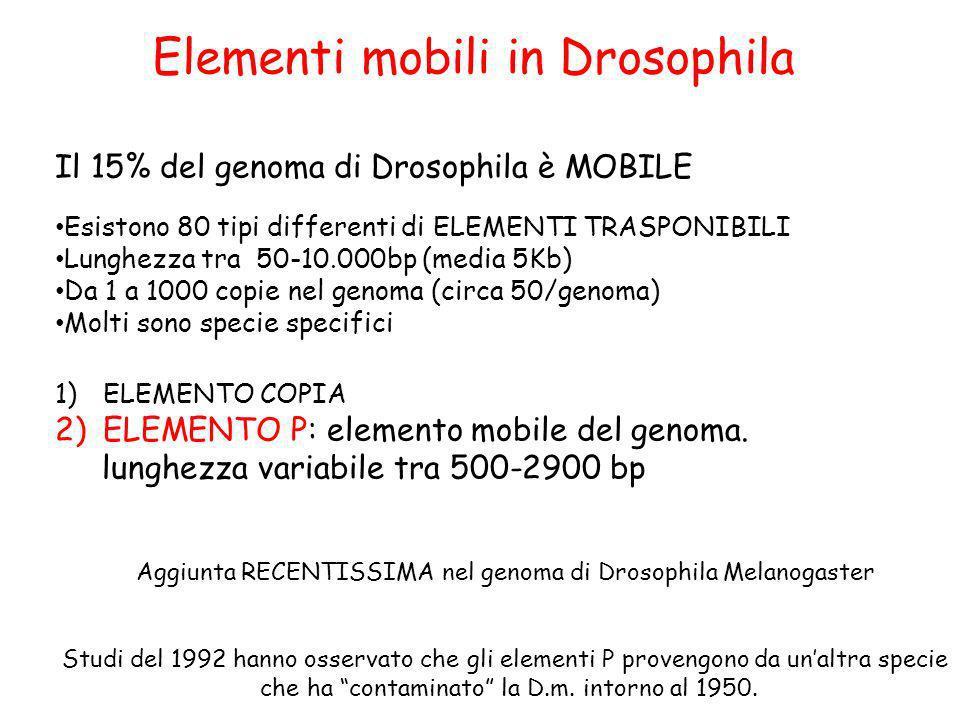 Il 15% del genoma di Drosophila è MOBILE Esistono 80 tipi differenti di ELEMENTI TRASPONIBILI Lunghezza tra 50-10.000bp (media 5Kb) Da 1 a 1000 copie