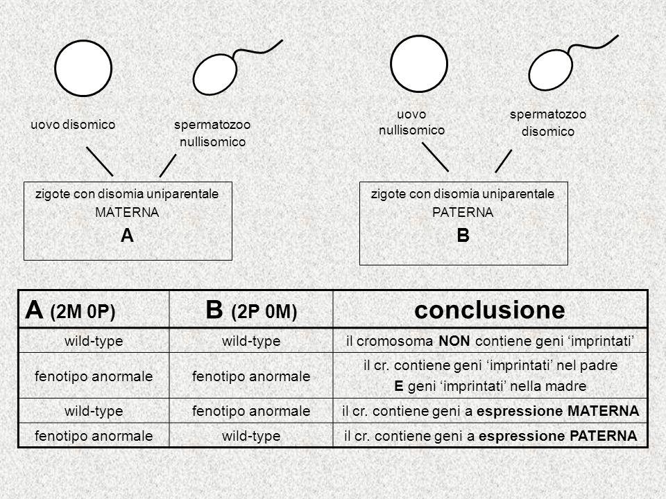 uovo disomico spermatozoo nullisomico zigote con disomia uniparentale MATERNA A uovo nullisomico spermatozoo disomico zigote con disomia uniparentale PATERNA B A (2M 0P) B (2P 0M) conclusione wild-type il cromosoma NON contiene geni imprintati fenotipo anormale il cr.