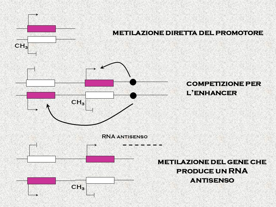 CH 3 RNA antisenso CH 3 metilazione diretta del promotore competizione per lenhancer metilazione del gene che produce un RNA antisenso