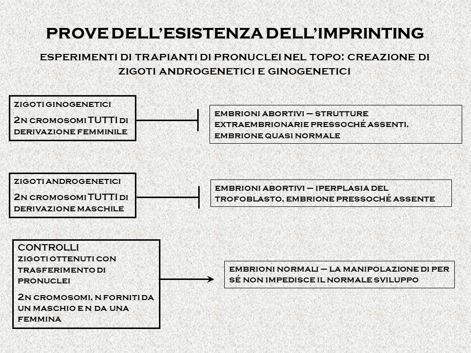 PROVE DELLESISTENZA DELLIMPRINTING esperimenti di trapianti di pronuclei nel topo: creazione di zigoti androgenetici e ginogenetici zigoti ginogenetici 2n cromosomi TUTTI di derivazione femminile zigoti androgenetici 2n cromosomi TUTTI di derivazione maschile embrioni abortivi – strutture extraembrionarie pressoché assenti, embrione quasi normale embrioni abortivi – iperplasia del trofoblasto, embrione pressoché assente CONTROLLI zigoti ottenuti con trasferimento di pronuclei 2n cromosomi, n forniti da un maschio e n da una femmina embrioni normali – la manipolazione di per sé non impedisce il normale sviluppo