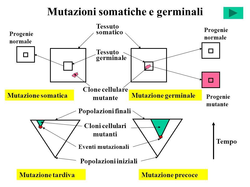 Mutazioni somatiche e germinali Progenie normale Tessuto somatico Tessuto germinale Clone cellulare mutante Progenie normale Progenie mutante Mutazion