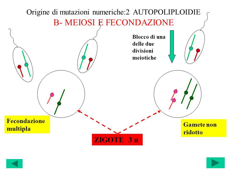 Origine di mutazioni numeriche:2 AUTOPOLIPLOIDIE B- MEIOSI E FECONDAZIONE Blocco di una delle due divisioni meiotiche ZIGOTE 3 n Fecondazione multipla