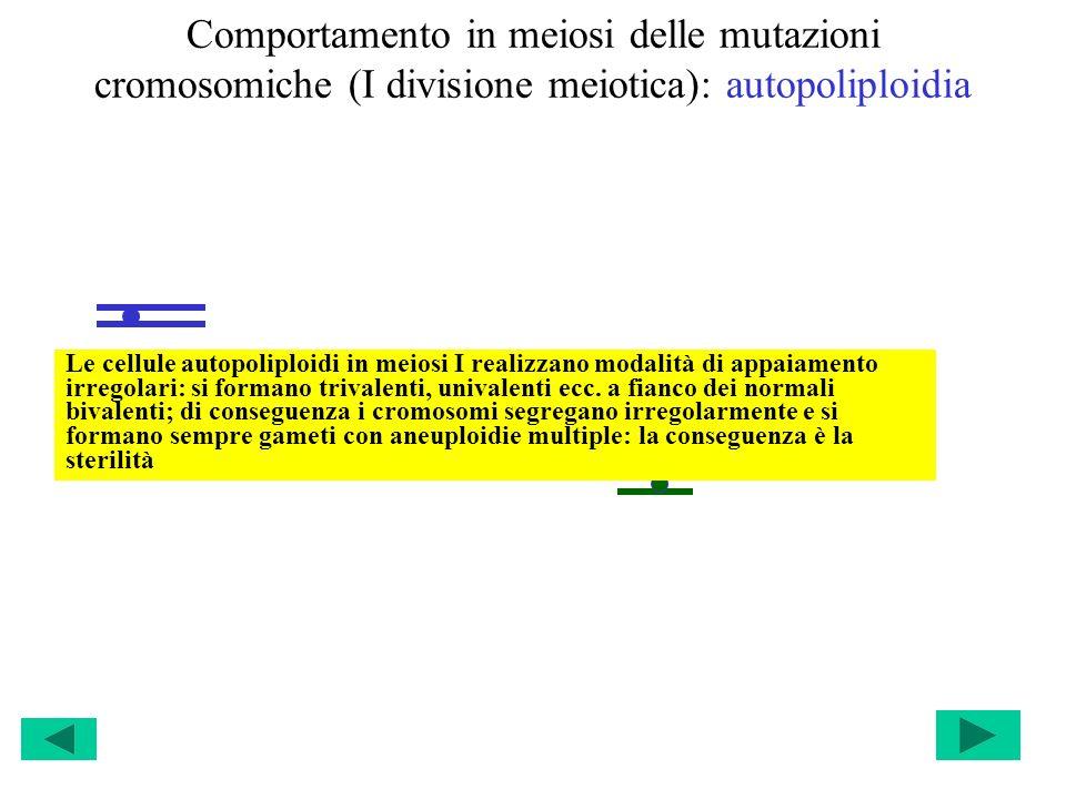 Comportamento in meiosi delle mutazioni cromosomiche (I divisione meiotica): autopoliploidia Le cellule autopoliploidi in meiosi I realizzano modalità