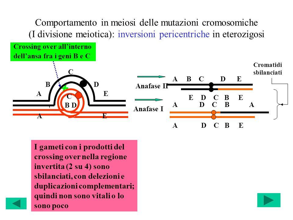 Comportamento in meiosi delle mutazioni cromosomiche (I divisione meiotica): inversioni pericentriche in eterozigosi Crossing over allinterno dellansa