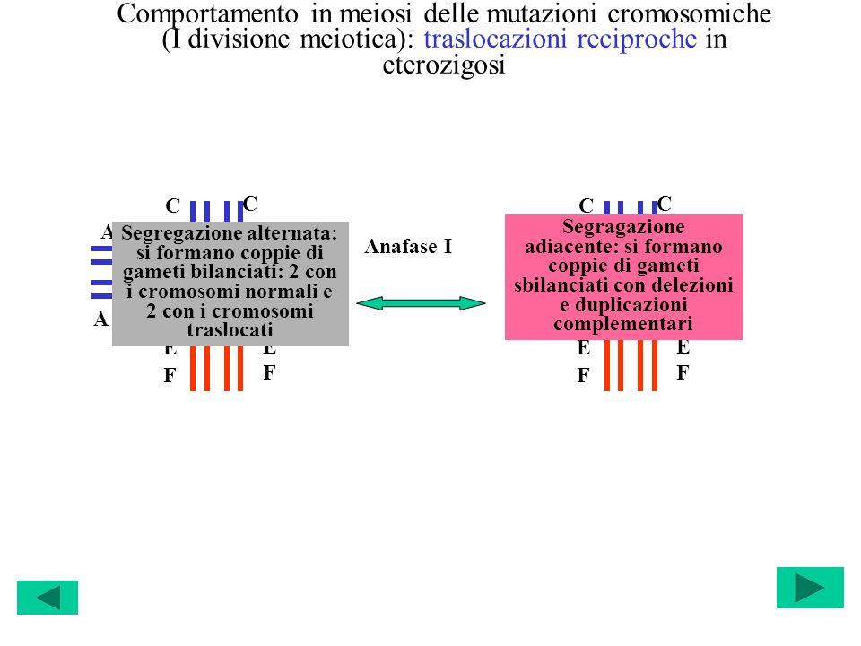 Comportamento in meiosi delle mutazioni cromosomiche (I divisione meiotica): traslocazioni reciproche in eterozigosi C A B C D D E F A B E F C A B C D
