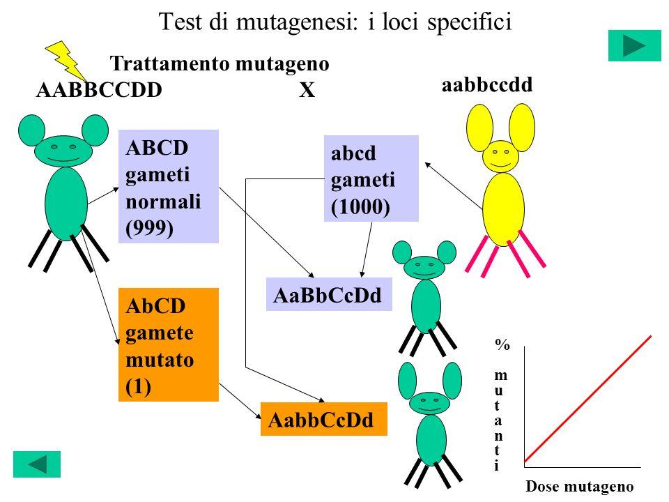 Test di mutagenesi: i loci specifici AABBCCDD Trattamento mutageno ABCD gameti normali (999) X aabbccdd AbCD gamete mutato (1) abcd gameti (1000) AaBb