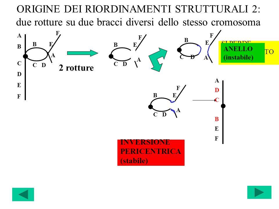 ORIGINE DEI RIORDINAMENTI STRUTTURALI 2: due rotture su due bracci diversi dello stesso cromosoma ABCDEFABCDEF F B E A C D F B E A C D SI PERDE IL FRA