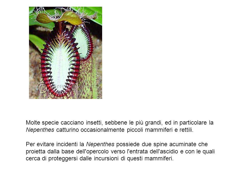 Molte specie cacciano insetti, sebbene le più grandi, ed in particolare la Nepenthes catturino occasionalmente piccoli mammiferi e rettili. Per evitar