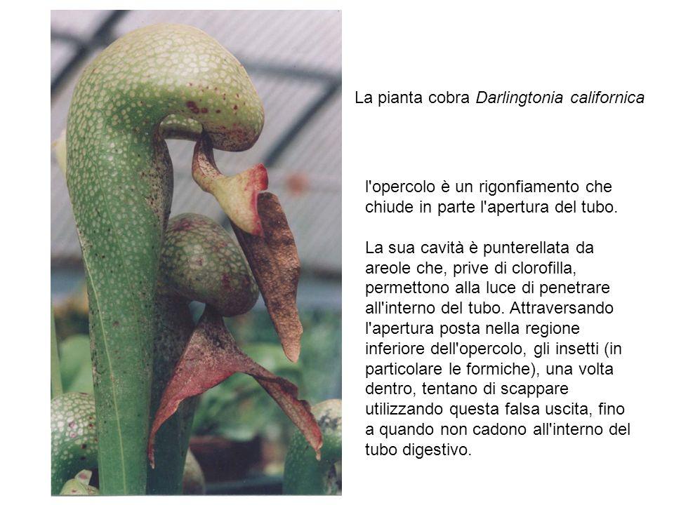 La pianta cobra Darlingtonia californica l'opercolo è un rigonfiamento che chiude in parte l'apertura del tubo. La sua cavità è punterellata da areole