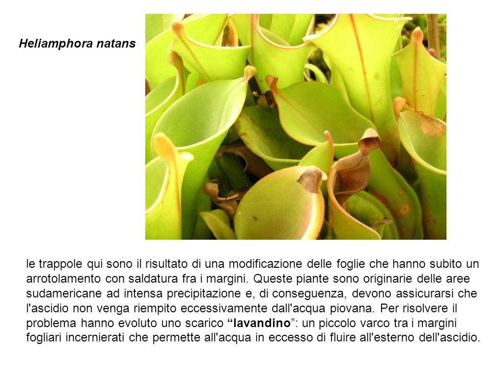 Heliamphora natans le trappole qui sono il risultato di una modificazione delle foglie che hanno subito un arrotolamento con saldatura fra i margini.