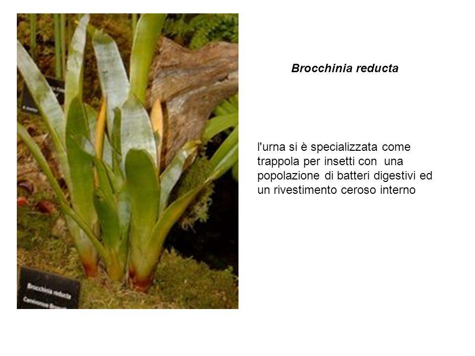 l'urna si è specializzata come trappola per insetti con una popolazione di batteri digestivi ed un rivestimento ceroso interno Brocchinia reducta