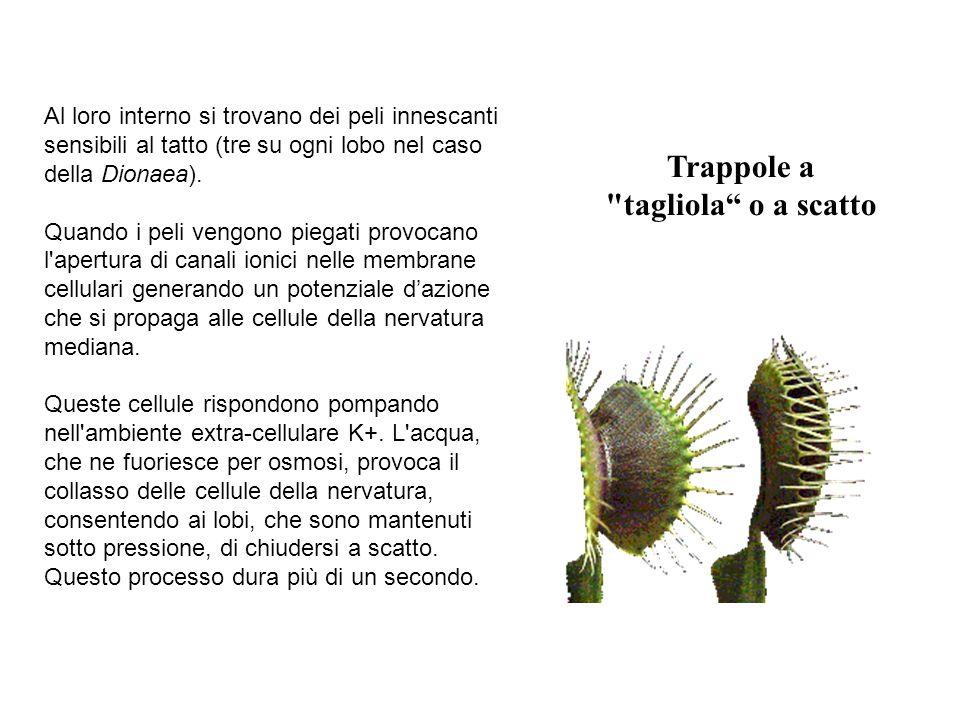 Trappole a tagliola o a scatto Al loro interno si trovano dei peli innescanti sensibili al tatto (tre su ogni lobo nel caso della Dionaea).