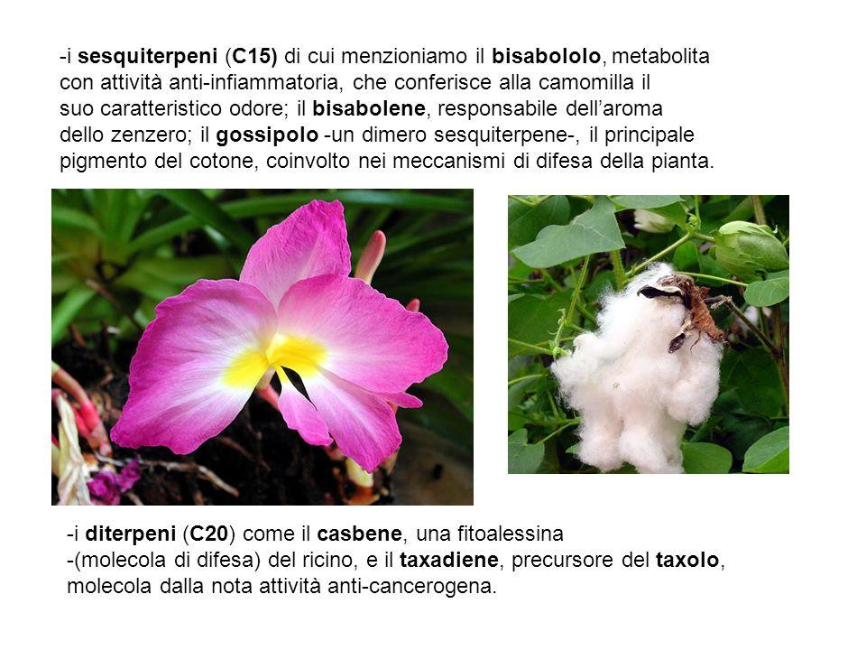 -i sesquiterpeni (C15) di cui menzioniamo il bisabololo, metabolita con attività anti-infiammatoria, che conferisce alla camomilla il suo caratteristi