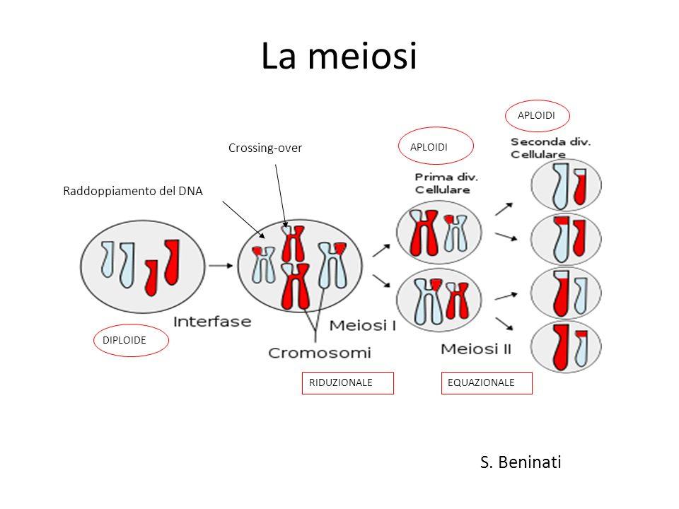 La meiosi S. Beninati Raddoppiamento del DNA Crossing-over RIDUZIONALEEQUAZIONALE APLOIDI DIPLOIDE