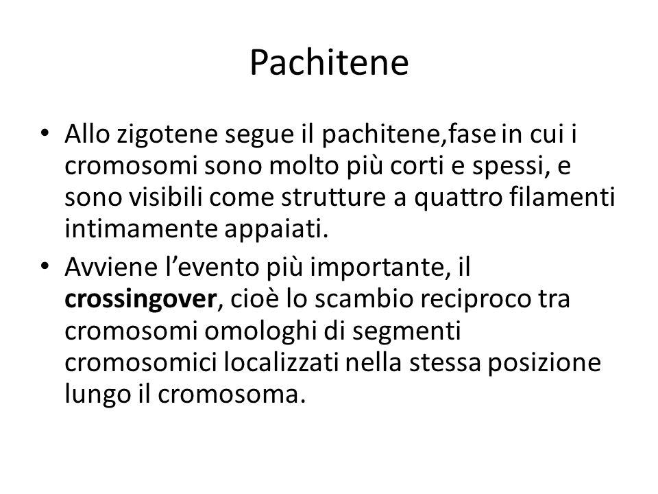 Allo zigotene segue il pachitene,fase in cui i cromosomi sono molto più corti e spessi, e sono visibili come strutture a quattro filamenti intimamente
