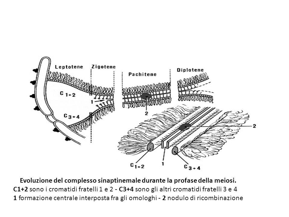 Evoluzione del complesso sinaptinemale durante la profase della meiosi. C1+2 sono i cromatidi fratelli 1 e 2 - C3+4 sono gli altri cromatidi fratelli